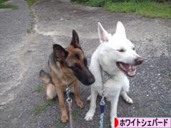 にほんブログ村 犬ブログ ホワイトシェパードへ