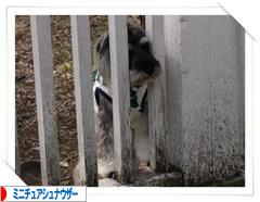 にほんブログ村 犬ブログ ミニチュアシュナウザーへ