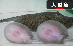 にほんブログ村 観賞魚ブログ 大型魚へ