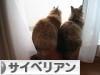 にほんブログ村 猫ブログ サイベリアンへ