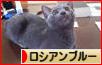 にほんブログ村 猫ブログ ロシアンブルー へ