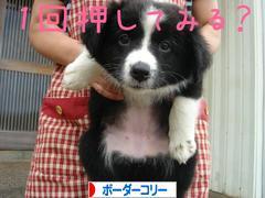 に ほんブログ村 犬ブログ ボー ダーコリーへ
