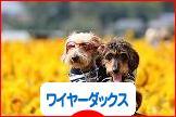 にほんブログ村 犬ブログ ワイヤーヘアードダックスフンドへ