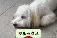 にほんブログ村 犬ブログ マルックスへ