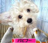 にほんブログ村 犬ブログ パピプーへ