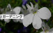 にほんブログ村 花ブログ ガーデニングへ