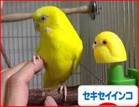 にほんブログ村 鳥ブログ セキセイインコへ