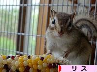 にほんブログ村 小動物ブログ リスへ