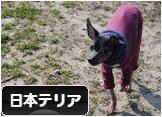 にほんブログ村 犬ブログ 日本テリアへ