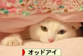 にほんブログ村 猫ブログ オッドアイへ