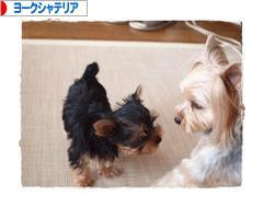 犬ブログ ヨークシャーテリアへ