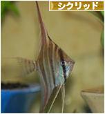 にほんブログ村 観賞魚ブログ シクリッドへ