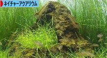 にほんブログ村 観賞魚 ブログ ネイチャーアクアリウムへ