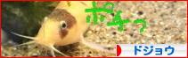 にほんブログ村 観賞魚ブログ ドジョウへ