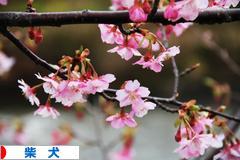 2011年の河津桜