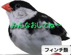 にほんブログ村 鳥ブログ フィンチ類へ