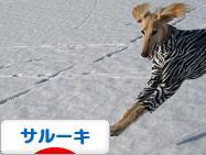 にほんブログ村 犬ブログ サルーキへ