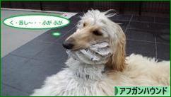 にほんブログ村 犬ブログ アフガンハウンドへ