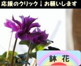 にほんブログ村 花ブログ 鉢花へ