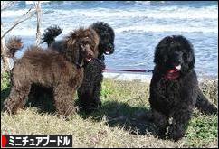 にほんブログ村 犬ブログ ミニチュアプードルへ