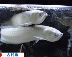 にほんブログ村 観賞魚ブログ 古代魚へ