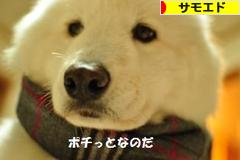 にほんブログ村 犬ブログ サモエドへ