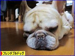 にほんブログ村 犬ブログ フレンチブルドッグへ(文字をクリック)