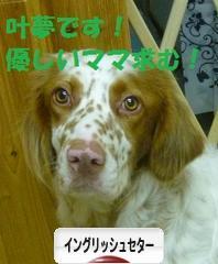 にほんブログ村 犬ブログ イングリッシュセターへ