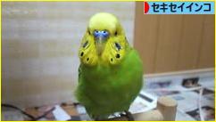 にほんブログ村 鳥ブログ セキセイイ ンコへ