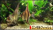 にほんブログ村 観賞魚ブログ エンゼルフィッシュへ