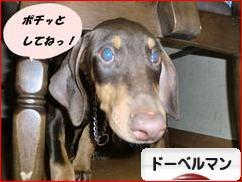 にほんブログ村 犬ブログ ドーベルマンへ