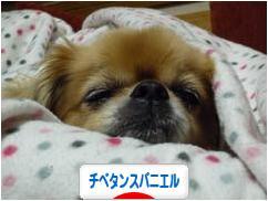 にほんブログ村 犬ブログ チベタンスパニエルへ