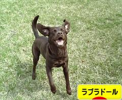 に ほんブログ村 犬ブログ ラブラドールへ