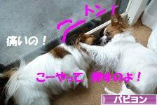 にほんブログ村 犬ブログhttp://admin.blog.fc2.com/control.php?mode=editor&process=new# パピヨンへ