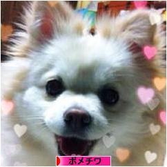 にほんブログ村 犬ブログ ポメチワへ
