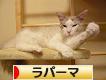 にほんブログ村 猫ブログ ラパーマへ