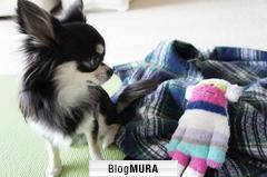 にほんブログ村 犬ブログ チワワへ