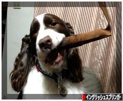 にほんブログ村 犬ブログ イングリッシュスプリンガースパニエルへ