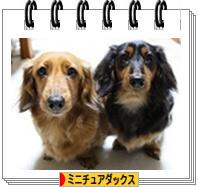 にほんブログ村 犬ブログ ミニチュアダックスフンドへ