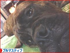 にほんブログ村 犬ブログ ブルマスティフへ