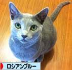aにほんブログ村 猫ブログ ロシアンブルーへ