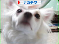 にほんブログ村 犬ブログ デカチワへ