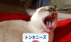 にほんブログ村 猫ブログ トンキニーズへ