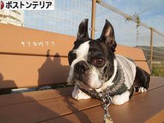 にほんブログ村 犬ブログ ボストンテリアへ