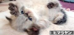 にほんブログ村 猫ブログ ヒマラヤンへ
