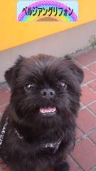 にほんブログ村 犬ブログ ベルジアングリフォンへ
