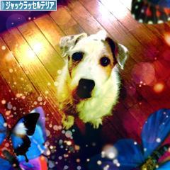 にほんブログ村 犬ブログ ジャックラッセルテリアへ