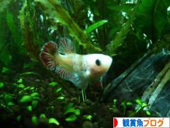にほんブログ村 観賞魚ブログへ