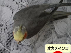 にほんブログ村 鳥ブログ オカメインコへ