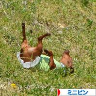 にほんブログ村 犬ブログ ミニピンへ